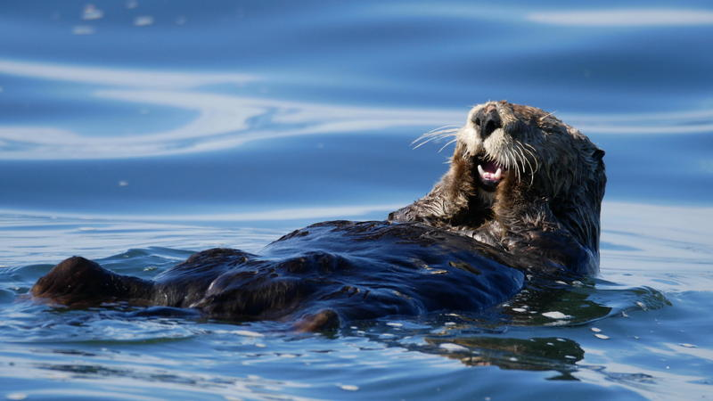 Female sea otter cleaning itself off the coast of Moss Landing, CA