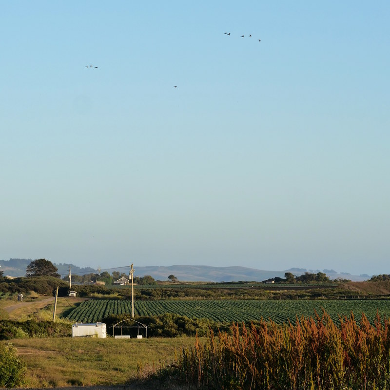 Birds flying above a farm in Half Moon Bay, CA